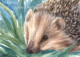 Young Hedgehog ACEO by Pannya