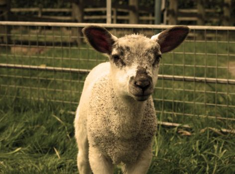 Baby Ozzie Lamb by angrybuttie