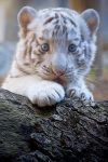White Tiger Cub. by saqopakajmer