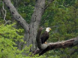 Bald Eagle by Matthew-Beziat