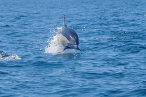 Dolphin by sophmicase