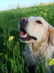 Golden in Spring colours by theVils