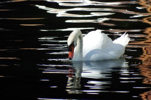 White swan 1 - Maui by wildplaces