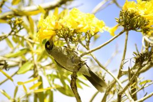 Yellow-Throated Miner by SergioLang
