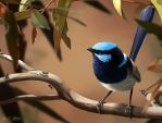 Superb Fairywren by Abiogenisis