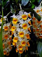 Yellow and White Orchids by TRunna