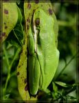 Green Tree Frog 40D0023000 by Cristian-M