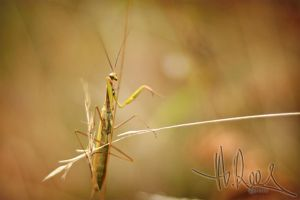 Mantis 1 by Shes-All-Smiles