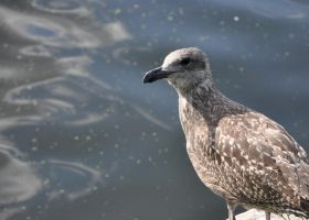 young gull by pinestater234