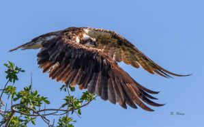 Osprey Takes Flight by Grouper