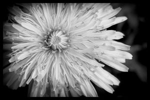 Dandelion Black and White by bnspencer