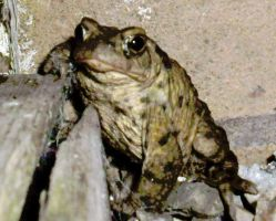 Toad Life Series Mr Toad propping the bar up 2! by Pho-TasticMathew