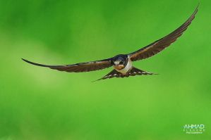 Barn Swallow by ahmed-Alsheme