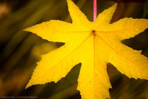 Yellow leaf pink stem by isotophoto