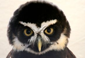 Spectacled Owl by Tinap