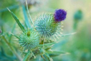 thistle by Tracys-Place