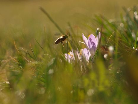 Crocus and Bee by Bodghia