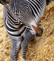 Zebra by rosswillett