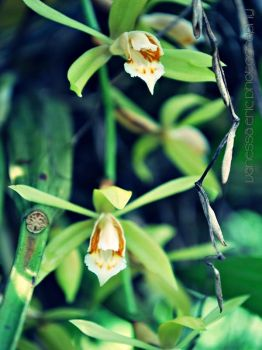 Little Orchid by BabyLonetheGreaT