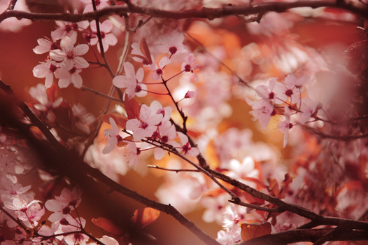 CHERRY BLOSSOM by bostonstage