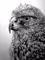 Hawk Drawing by Dyobanolo
