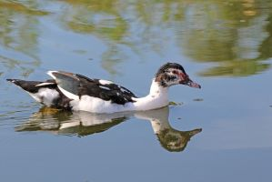 Muschovy Duck (I think...) by MaresaSinclair