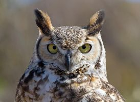 Great Horned Owl by EarthBirds