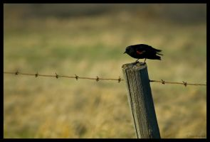 Red Wing Blackbird by astrax