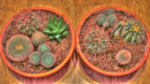HDR Cactus by Pureeavle