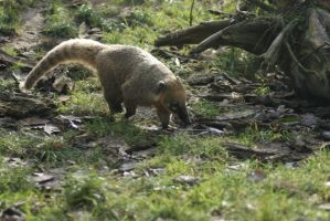 South American Coati by SkeletonHorror