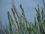 Grasses in the Wind by FireTear19