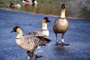 Hawaiian Geese by StormyyWolf