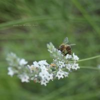 Bee on White Lavender, July 2016 by wiebkerost