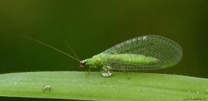 Green lace wing by natureguy