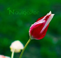 drops - tulip by NaViGa7or