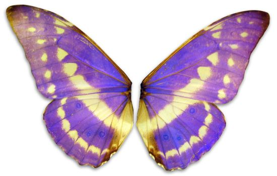 violet wings by Meltys-stock