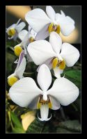 Orchid-5 by Bagheera-8