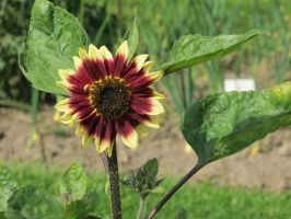Red Sunflower 6 by Kattvinge