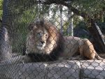 Lion Chilling by FlyingLion76