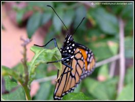 The Monarch Butterfly 1 by thefunkyinuit