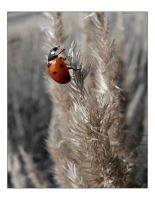 Coccinelle II by dadid