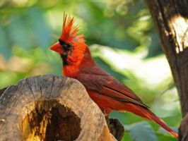 Cardinal Needing Gel by MichelLalonde