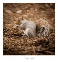 Squirrel by AlexMarshall