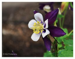 Columbine by erbphotography