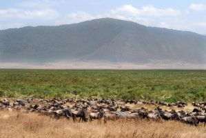 Wildebeests and Zebras by xxJY