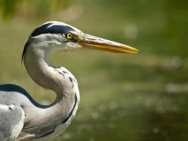 Grey Heron 00 - Jun 11 by mszafran