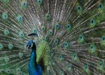 Peacock Portrait by BiervomFass