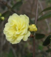 yellow rosacaea 05 by CotyStock