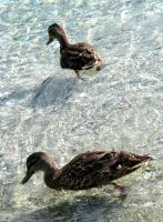 Ducks In The Sea by augustinesoong