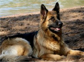 Majestic German Shepherd by Ziroden